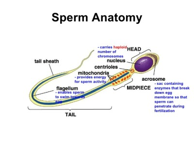 Activity of sperm