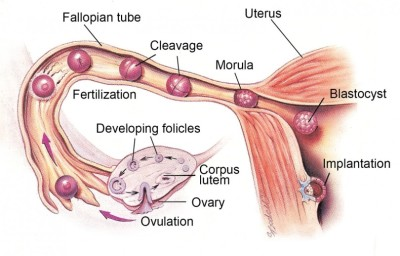 Basic principles of ovulation