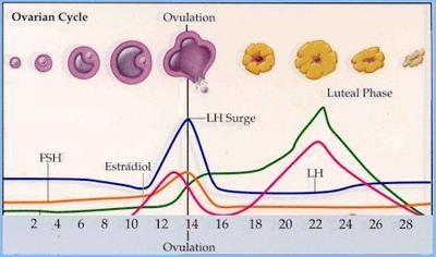 How long is ovulation