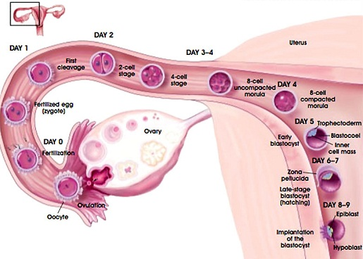 Consider, ovulation while pregnant like this