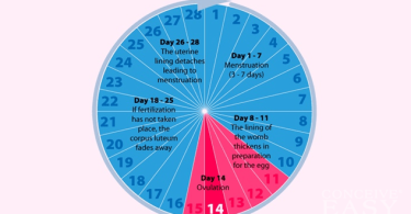 The calculation cycle ovulation on schedule