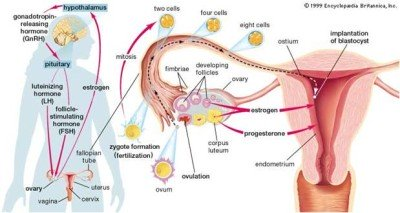 What affect ovulation