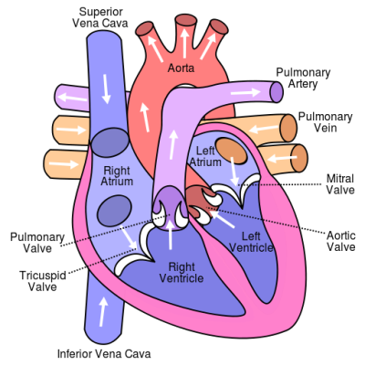 Causes of endocarditis