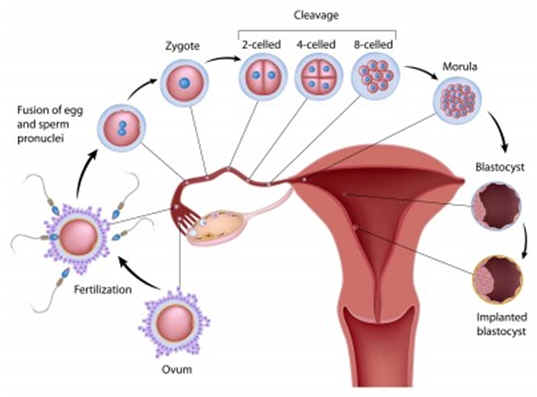 Can You Get Pregnant During Ovulation 11