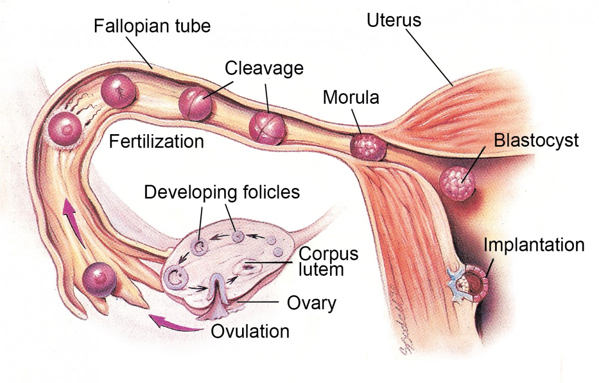 Ovulation - what is a menstrual cycle