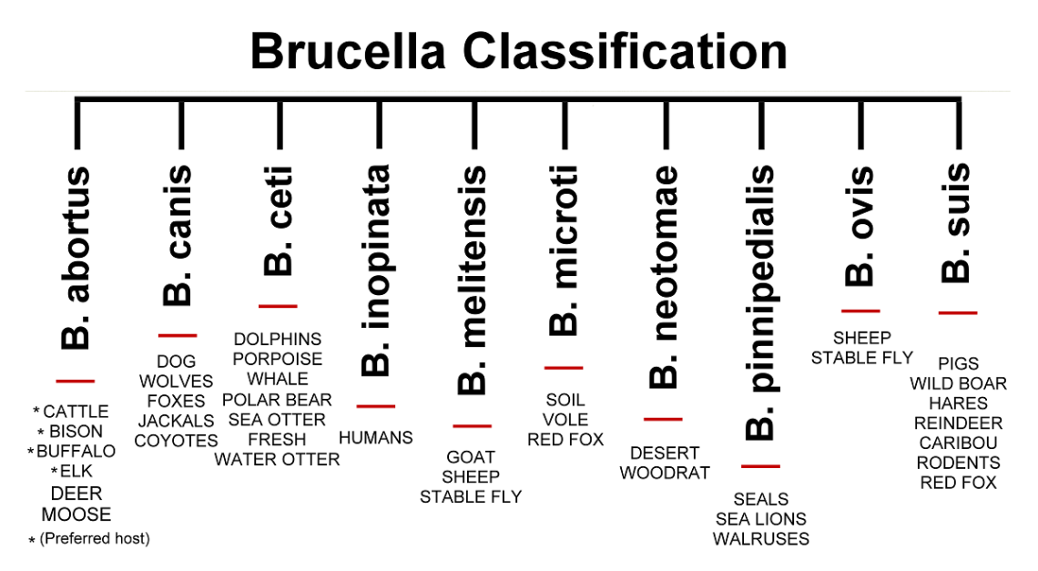 Brucellosis - causes, symptoms and treatment | Health Care ... Brucellosis