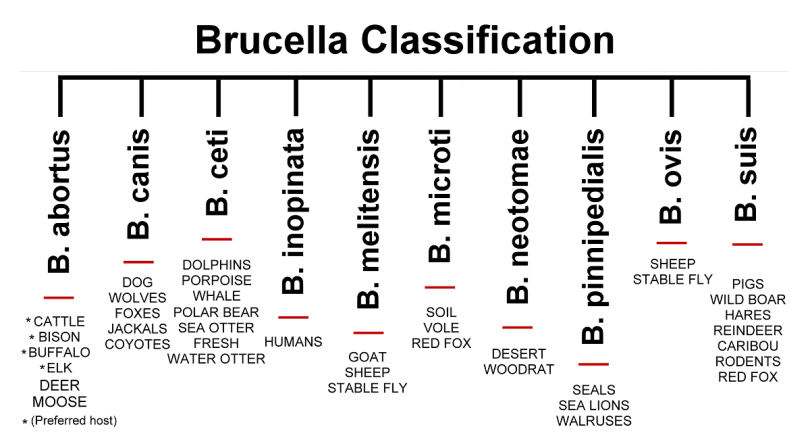 Brucellosis - causes, symptoms and treatment